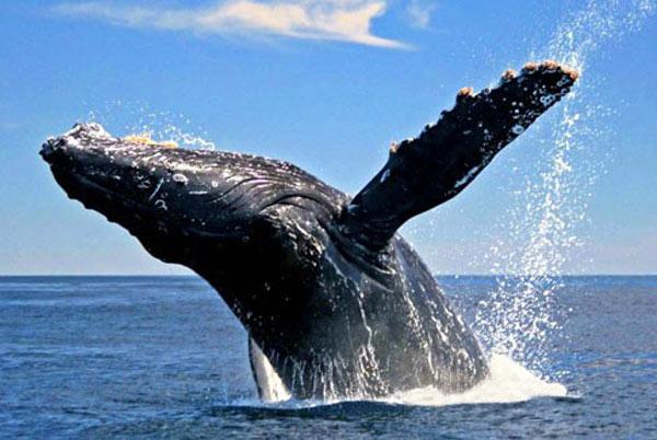 Baleine A Bosse Dans La Baie De Samana Voyager A La Republique